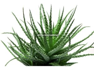 Image of AloeVera Plant